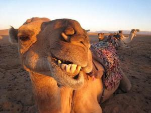 Camel at the Crazymad Writer's blog