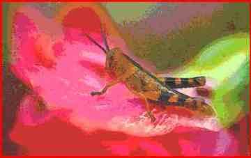 giant-grasshopper